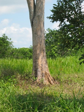 Cortes tree, Part I.